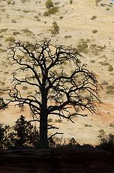 A leafless tree is silhouetted against sandstone in Zion National Park, Utah.