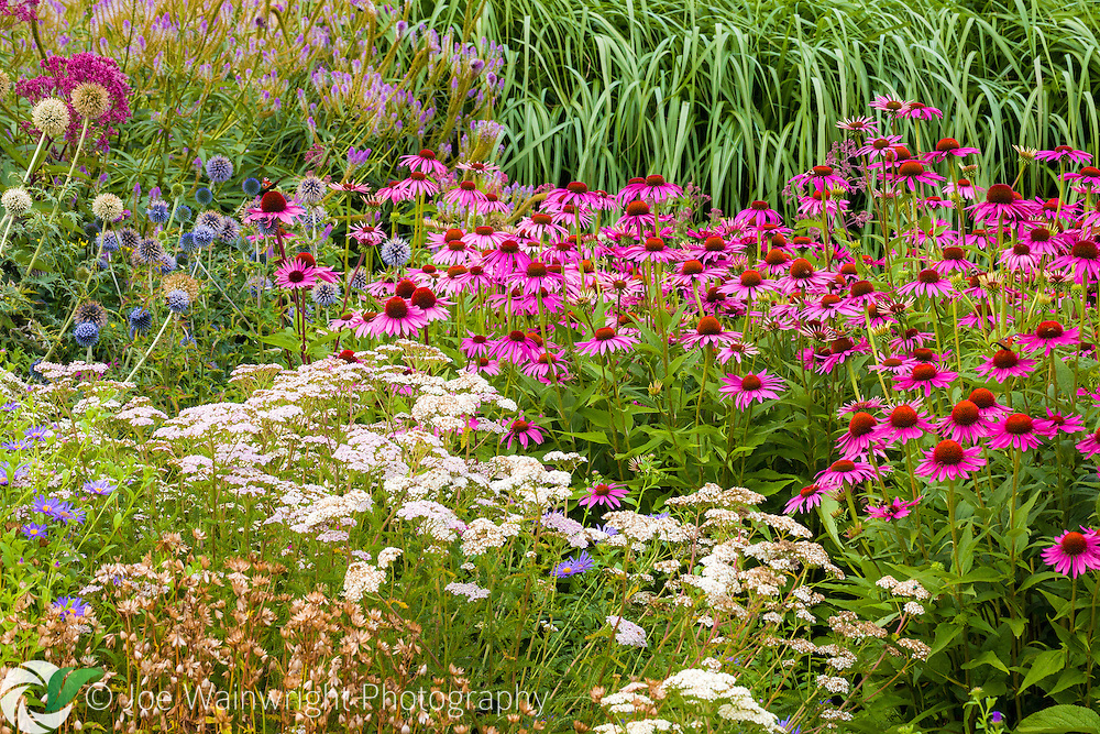 An impressive display of herbaceous perennials and grasses in the Floral Labyrinth at Trentham Gardens, Staffordshire.
