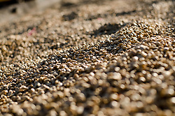 Arabica coffee beans drying under the sun. Paksong, Laos, Asia