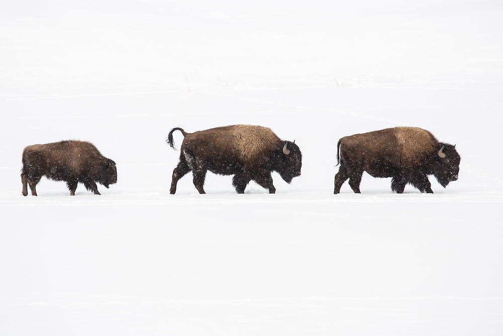 During winter, bison cows and calves gather into large herds that travel the snow-covered roads of Yellowstone in search of winter graze. These herds are led by a mature cow who is familiar with the migration routes these herds have traveled for generations.