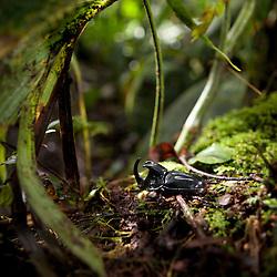 Rhinoceros Beetle (Dynastinae) in a cloud forest habitat, Yanayacu, Ecuador-  Nashornkäfer im Nebelwald