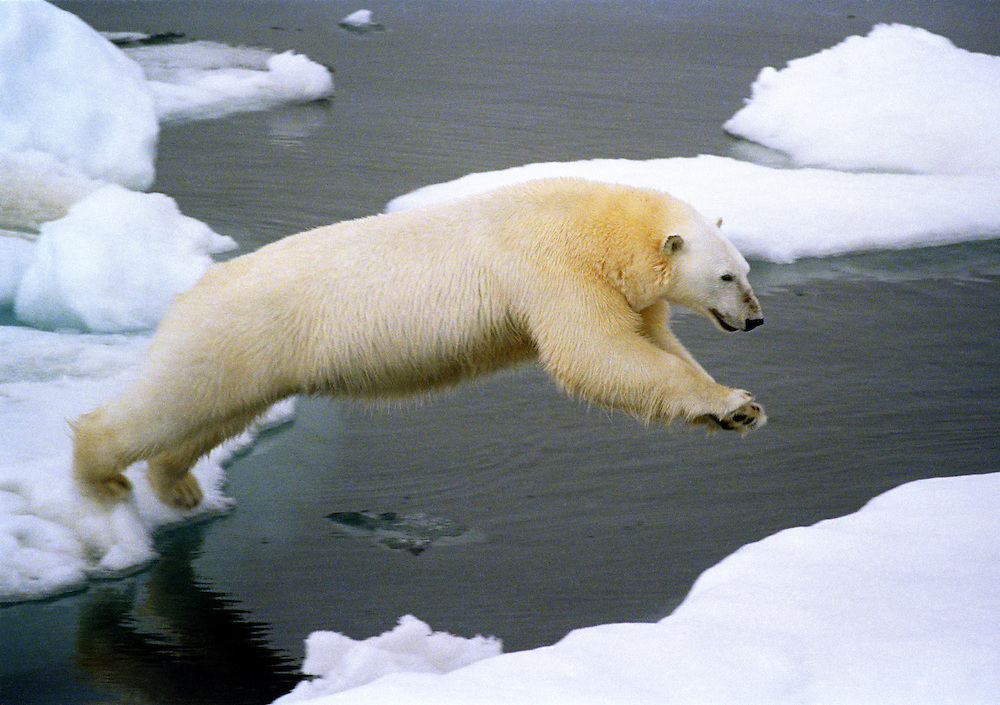 A polar bear (Ursus maritimus) leaps between icebergs in the Chuckchi Sea of the Arctic Ocean. Global warming is endangering the polar bear species by progressively melting their habitat. Daniel Beltra/Greenpeace