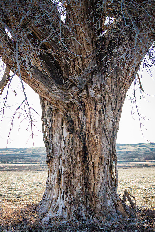 detail of a large Cottonwood Tree in New Mexico