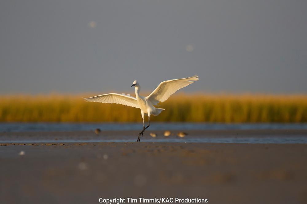 Reddish Egret, white morph, Egretta rufescens, Bolivar Flats, Texas gulf coast, landing with raised wings in golden light
