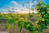 Austria, border to Czech Republic, Znaim Area, Weinviertel, vineyard