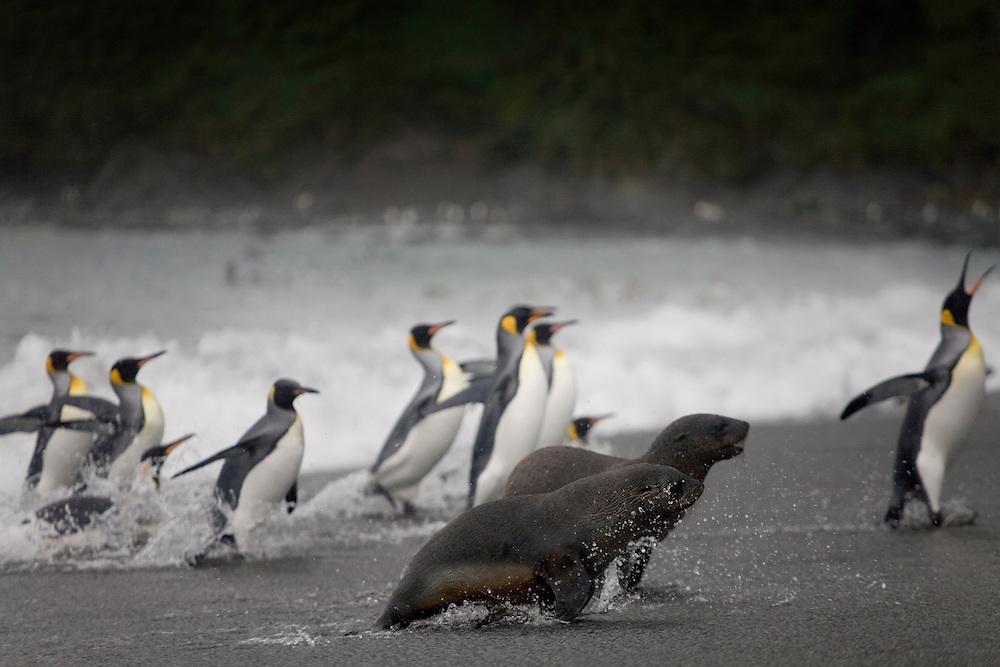 Antarctica, South Georgia Island (UK), King Penguins (Aptenodytes patagonicus) and Antarctic Fur Seals (Arctocephalus gazella) in crashing surf along Right Whale Bay on stormy evening