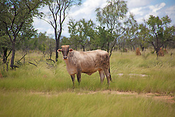 A Brahman beside the road from Broome to Derby.