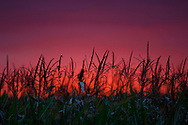 Sunset on corn field.