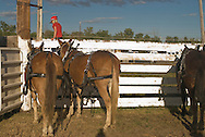 Young girl and team of mules (Mulus mula) in harness at Montana Mule Days, Drummond, Montana