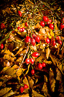 Red berries in the All Saints Church Yard, Bishop Burton