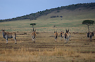 A herd of antelopes graze in the plains of the Serengeti, near the Massai Mara plains in the Tanzania-Kenya border. (PHOTO: MIGUEL JUAREZ LUGO).