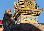 """A rhesus macaque monkey climbs a monument at Swayambhunath in Nepal, Asia. The """"Monkey Temple"""" was founded about 500 AD, one of the oldest and holiest Buddhist sites in the Kathmandu Valley. It sits on a hill in the west of Kathmandu overlooking the city. Buddha Eyes gaze from one side of Swayambhunath, the """"Monkey Temple"""". On most every stupa (Buddhist shrine) in Nepal, giant Buddha Eyes (or Wisdom Eyes) stare from four sides of the upper cube. These four directions symbolize the omniscience (all-seeing) of a Buddha. The third eye (above and between the other two eyes) also symbolizes the all-seeing wisdom of the Buddha. The curled symbol (shaped like a question mark) in place of a nose is the Nepali character for the number 1, which symbolizes unity of all things."""