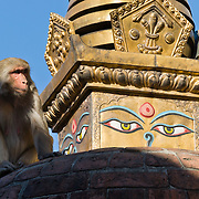 "A rhesus macaque monkey climbs a monument at Swayambhunath in Nepal, Asia. The ""Monkey Temple"" was founded about 500 AD, one of the oldest and holiest Buddhist sites in the Kathmandu Valley. It sits on a hill in the west of Kathmandu overlooking the city. Buddha Eyes gaze from one side of Swayambhunath, the ""Monkey Temple"". On most every stupa (Buddhist shrine) in Nepal, giant Buddha Eyes (or Wisdom Eyes) stare from four sides of the upper cube. These four directions symbolize the omniscience (all-seeing) of a Buddha. The third eye (above and between the other two eyes) also symbolizes the all-seeing wisdom of the Buddha. The curled symbol (shaped like a question mark) in place of a nose is the Nepali character for the number 1, which symbolizes unity of all things."