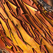 Red bark of the Pacific Madrone or Madrona (Arbutus menziesii) peals in a pattern to reveal a new orange layer. Lime Kiln Point State Park, San Juan Island, Washington, USA.
