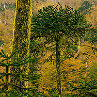 This Araucaria Forest is located in the Cani Sanctuary in the Northern Portion of Chilean Patagonia near the town of Pucon.<br /> <br /> Canvas gallery wrapped print is 18x24&quot;.