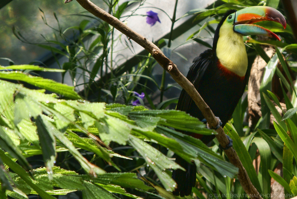 Toucan / Woodland Park Zoo, Seattle