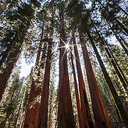 The sun shines through a cluster of Giant Sequoias (Sequoiadendron giganteum) known as The House in Sequoia National Park, California. Giant Sequoias are the world's largest trees in terms of total volume, with the largest trees reaching 311 feet (95 meters) in height and more than 56 feet (17 meters) in diameter. The oldest Giant Sequoias are more than 3,000 years old. Sequoias are unique in that they can grow close together, sharing root systems, to get the water they need.