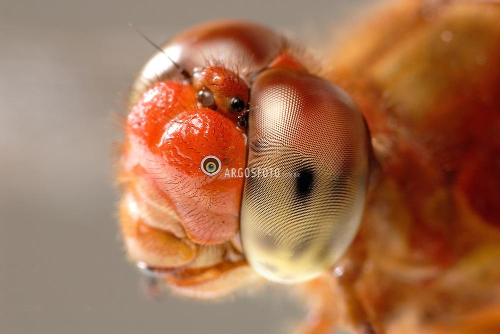 Olhos de uma libelula. / Eyes of a dragonfly.