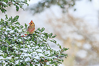 Female cardinal in a holly tree during a snowstorm.