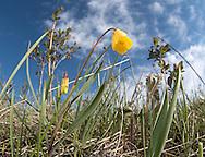Yellow Bells (Fritillaria pudica), Mt. Ellis, Bozeman, Montana