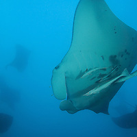 Mantas Abound