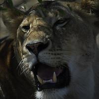 Lion ( Panthera leo ) Masai Mara National Park. Kenya. Africa<br />