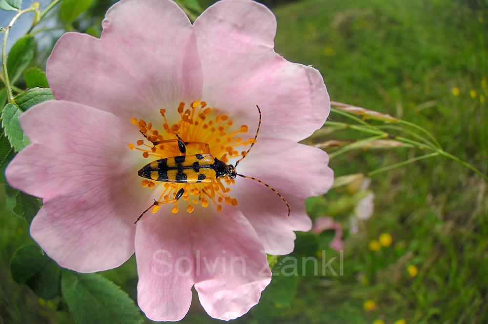 Spotted Longhorn (Rutpela maculata) Schmalbock-Käfer auf Rose, Gefleckter Schmalbock, Strangalia maculata