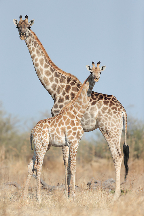 Africa, Botswana, Chobe National Park, Giraffe (Giraffa camelopardalis) standing with young calf in grasslands of Savuti Marsh  in Okavango Delta
