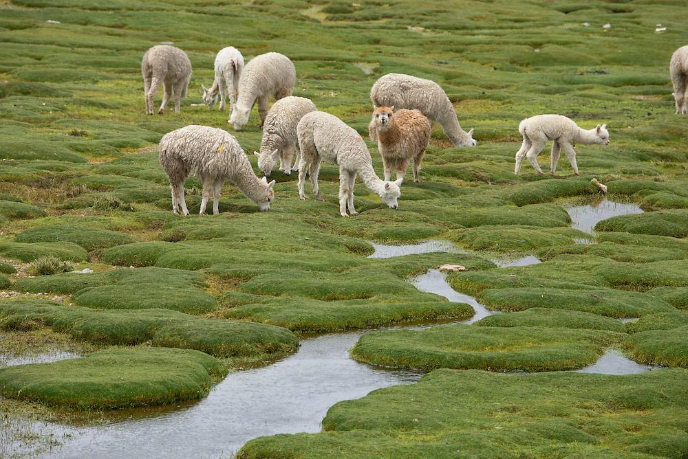 South America,Peru, Altiplano, Alpaca herd on Altiplano