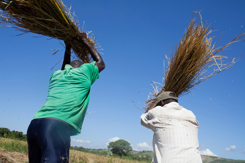 Men thrash rice on a paddy irrigated with water from the Artibonite River, the source of the recent cholera outbreak, on Sunday, October 31, 2010 in Petite Riviere, Haiti.