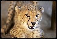 04: CHEETAH HEAD PORTRAITS