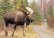 Alaska; Bull moose(Alces alces) crossing a recreational trail in Anchorage, Campbell Tract, BLM.