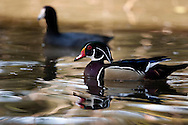 Wood Duck and American Coot in Lagoon at Los Angeles County Arboretum, Arcadia, California