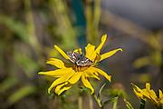 Common Checkered-Skipper, <br /> Pyrgus communis, feeding, sunflower, Houston Arboretum, Houston, Texas, autumn.