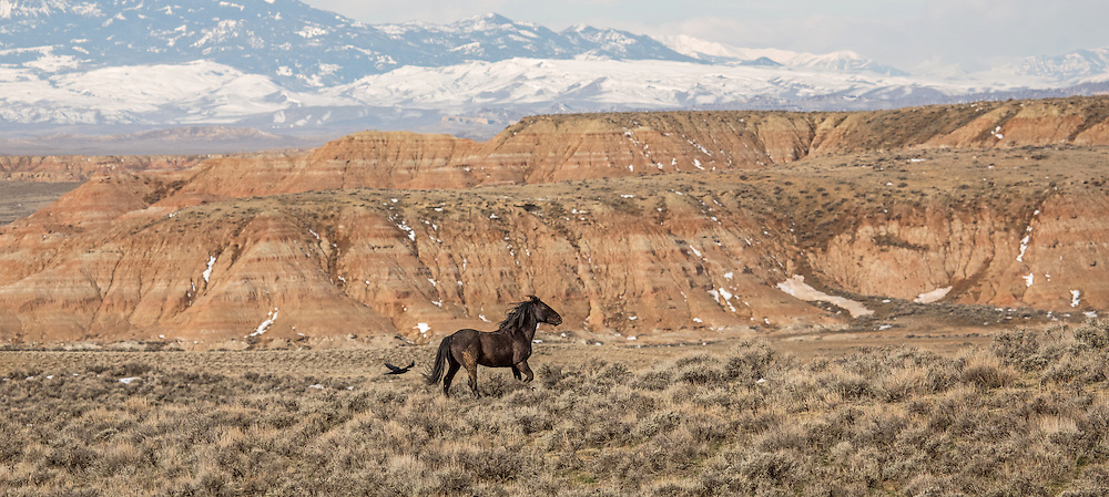 Together as one, raven and stallion traverse the badlands of McCullough Peaks Herd Management Area.