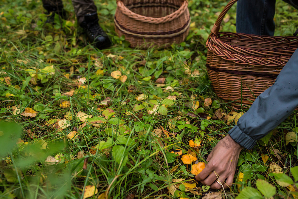 Picking chanterelles on Saturday, August 24, 2013 in Suzdal, Russia.