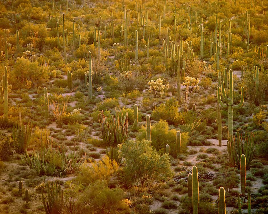 0112-1004 ~ Copyright:  George H. H. Huey ~ Saguaro cactus [ Carnegiea gigantea], organ pipe cactus [Stenocereus thurberi], and senita cactus [Laphocereus schottii], Senita Basin,  Organ Pipe Cactus National Monument, Arizona.