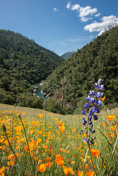 """""""Lupine and Poppies 2"""" - These wild Lupine and California Poppy flowers were photographed near Windy Pt. along the North Fork American River."""