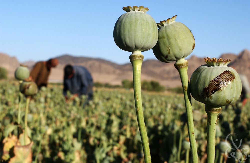 "Farmers freshly slice or ""score"" poppy plants in preperation for harvest May 16, 2002 near the city of Kandahar, in southern Aghanistan. Despite Afghan and coalition efforts at eliminating the crops used to produce opium and heroin, Afghan farmers in Southern Afghanistan continue to embrace poppies for their high cash value and hardiness."