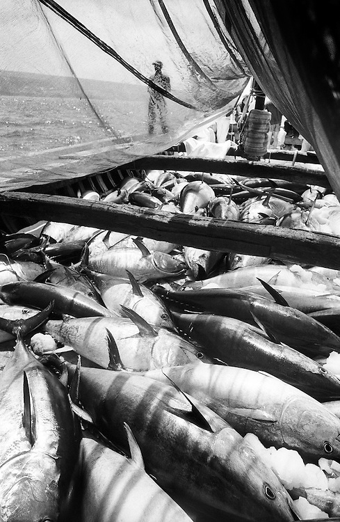 From Mattanza serie.Tuna fisherman in CarloFrote Sardinia Italy..Tunas in ice in the traditional wood boat after the mattanza..This kind of fishing is for the japanese market. At the end of may the tunas in Mediteranean sea are the best in the world. The tunas after 18 hours are at Tokio fish market.