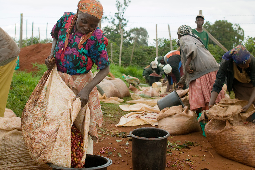 Africa, Kenya, Ruira, (MR) Elderly woman working as picker sorts through piles of ripe Arabica coffee beans during harvest at  Socfinaf's Oakland Estates coffee plantation