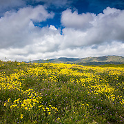 A hillside over Tehachapi, California, is lush with yellow and violet wildflowers as a spring rainstorm approaches.
