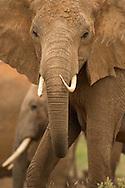 Elephant in Tsavo West National Park, Kenya<br /> LIMITED EDITION PRINT