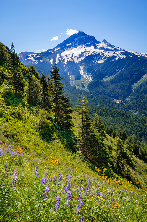 Mount Hood and wildflowers in meadow on Bald Mountain from Top Spur Trail; Mount Hood National Forest, Oregon.