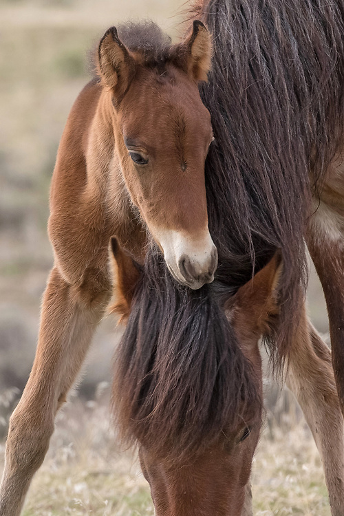 A young foal nuzzles his mother as she grazes on the fresh spring grass at the Onaqui Mountains Herd Management Area.