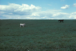 Horse and cow graze in green pasture of Lancaster County, PA. farm.