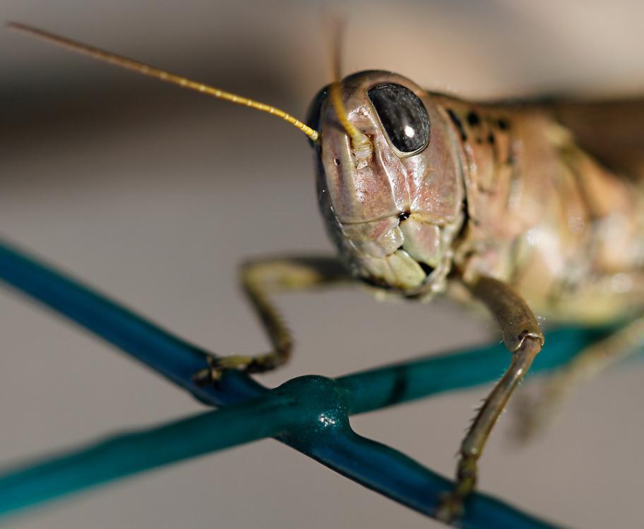 Grasshopper (Caelifera)