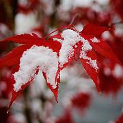 Snow falling on red japanese maple tree leaves, Arlington, Virginia