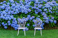 Hydrangea with Chairs,  Gin Lane, Southampton, NY