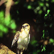 A sub-adult changeable hawk-eagle, Yala